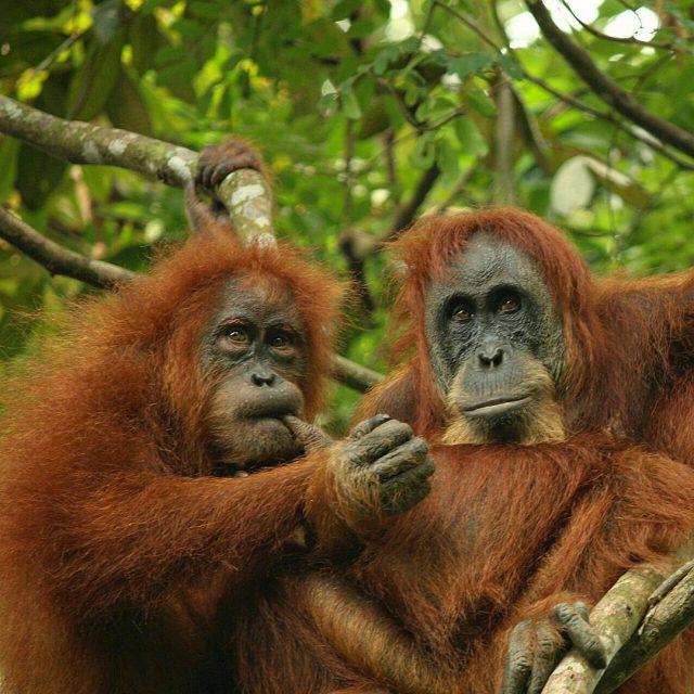 CA A Sumatra noms queden 7000 orangutans Si els visiteuhellip