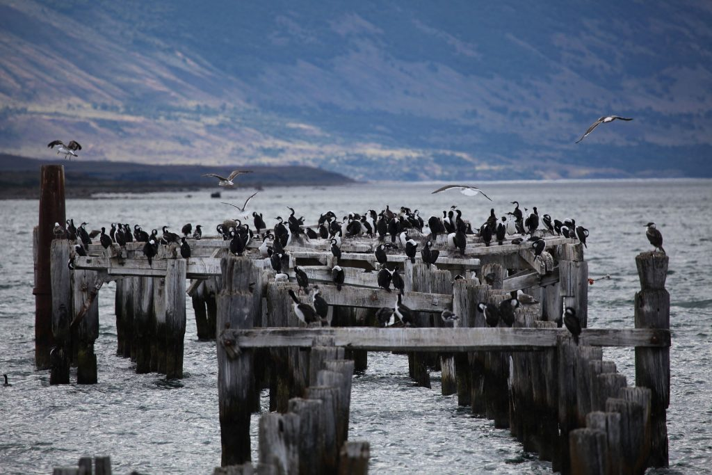 Cormorants_in_Puerto_Natales by LIam Quinn CC BY-SA 2.0