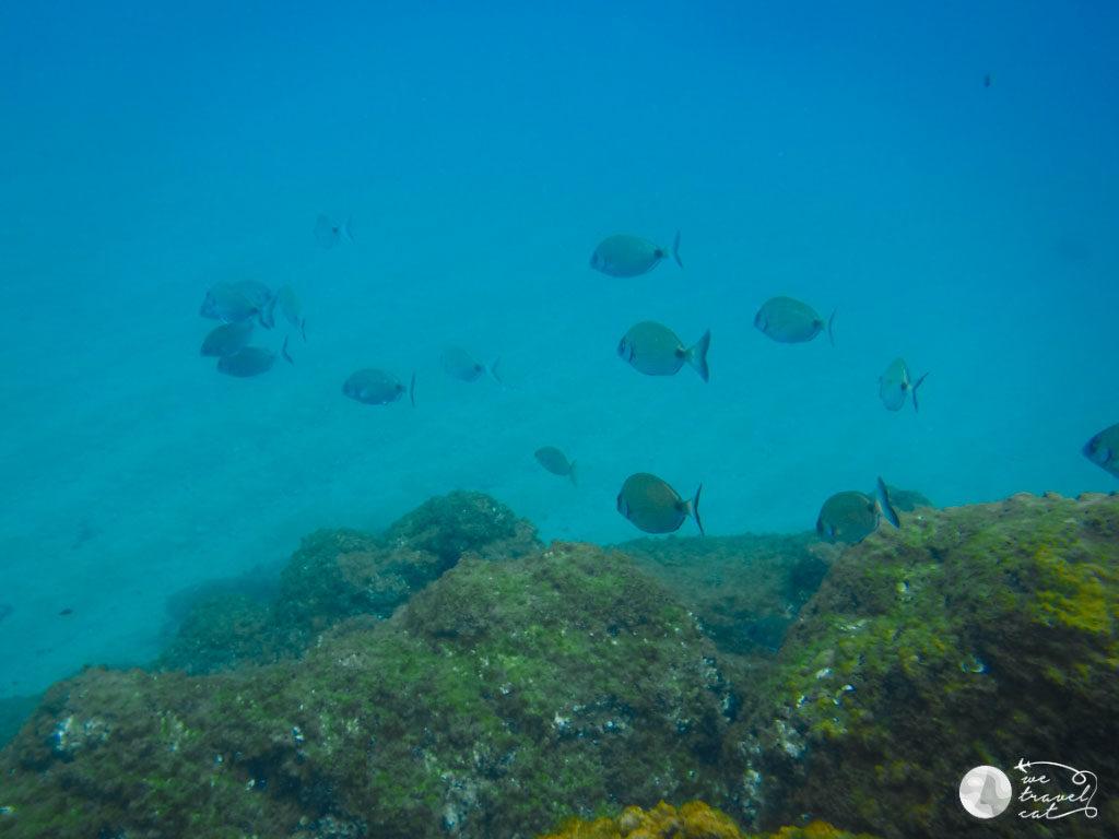 Els sards, uns dels peixos que es poden veure fent submarinisme a Mataró - wetravel.cat